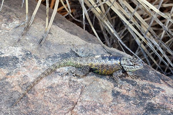 Desert Botanical Garden Lizard